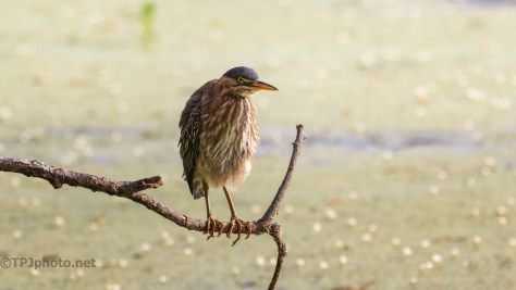 Green Heron Over A Swamp