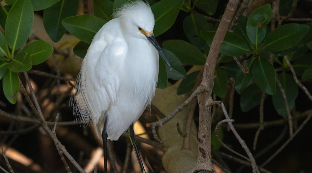 Hiding In A Mangrove, Egrets