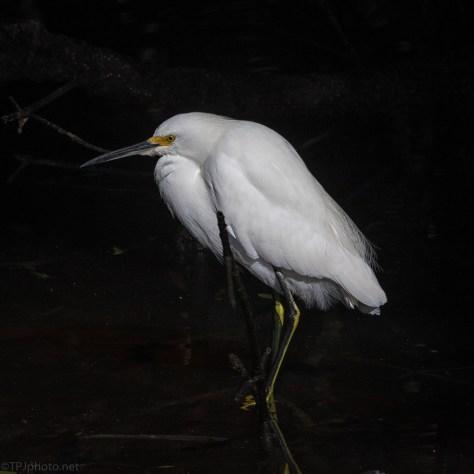 Snowy Egret In A Mangrove