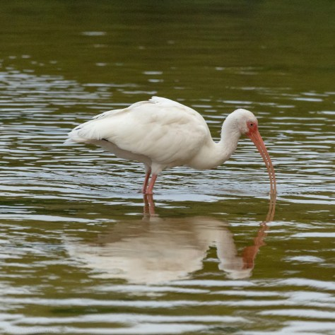 White Ibis Hunting In Shallows