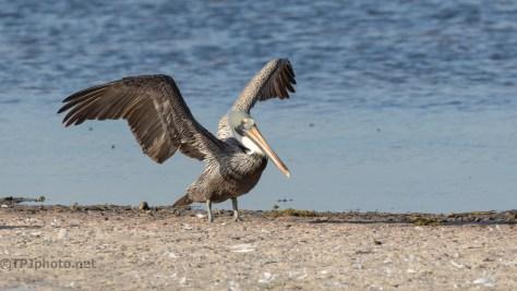 Making A Ruckus, Brown Pelican