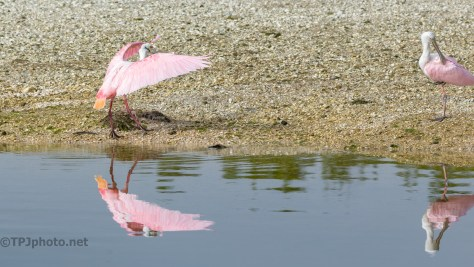 Colors On A Shell Mound, Spoonbill