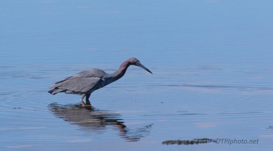 Little Blue Heron, Poking Around
