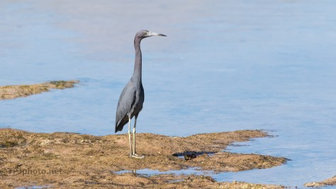 Standing Tall, Heron
