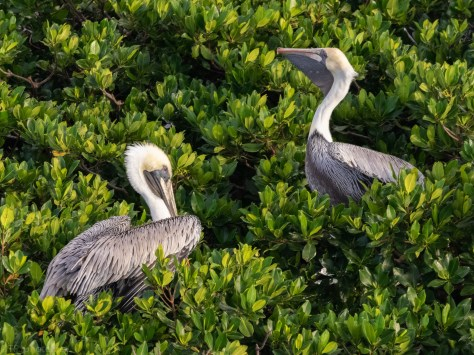 Rookery In Tarpon Bay, Pelican