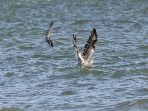 Hitting The Water, Brown Pelican