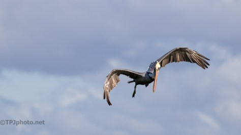 Watching The Catch, Pelican