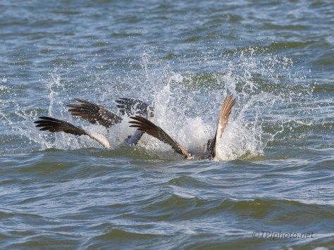 Pelican Working The Fish