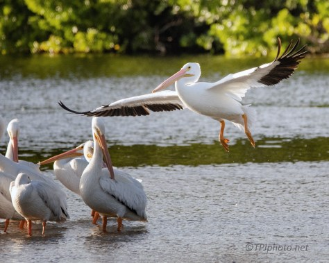 Joining The Group, White Pelican