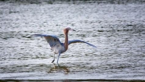 Reddish Egret, Dancing For Dinner