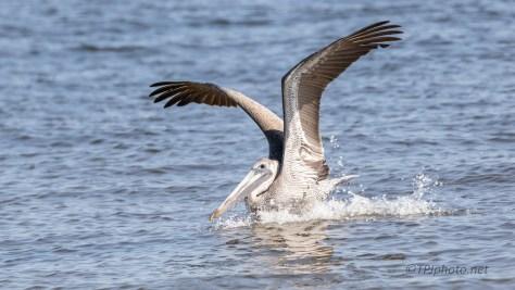 Impressive Landing, Brown Pelican