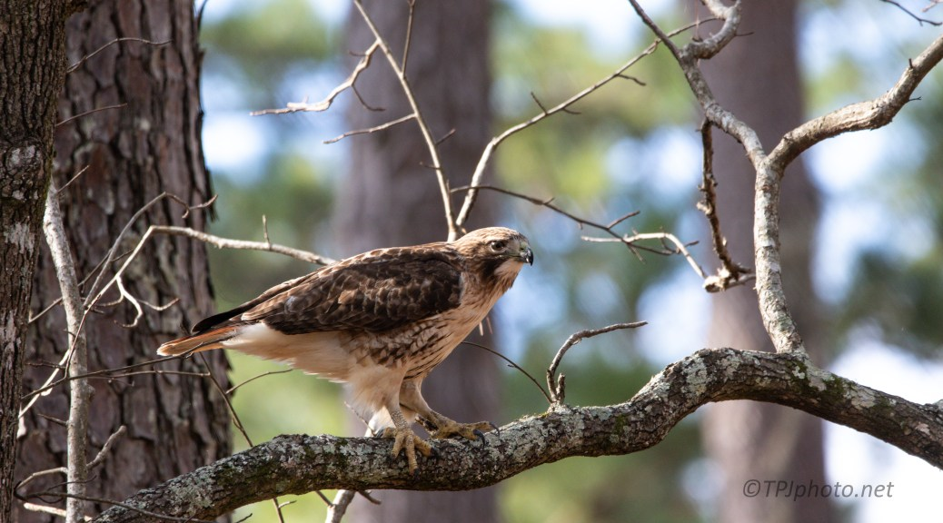 Early Morning Red-tailed Hawk