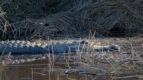 Almost A Log, Alligator