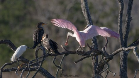 Uninvited Guests, Spoonbill