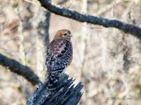 Red-Shouldered Hawk, South Carolina Swamp