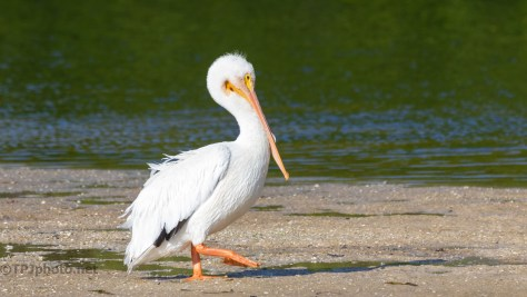 Big Guy On A Sand Bar, White Pelican