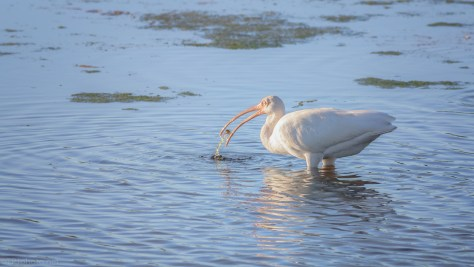 Finding A Small Crab, White Ibis