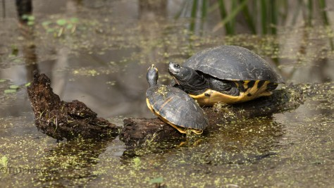 Turtles, Doing Whatever It Is They Do