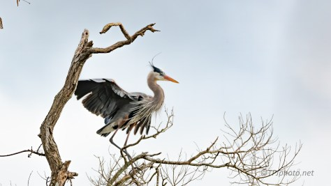 Great Blue Heron, Landing Above A Swamp