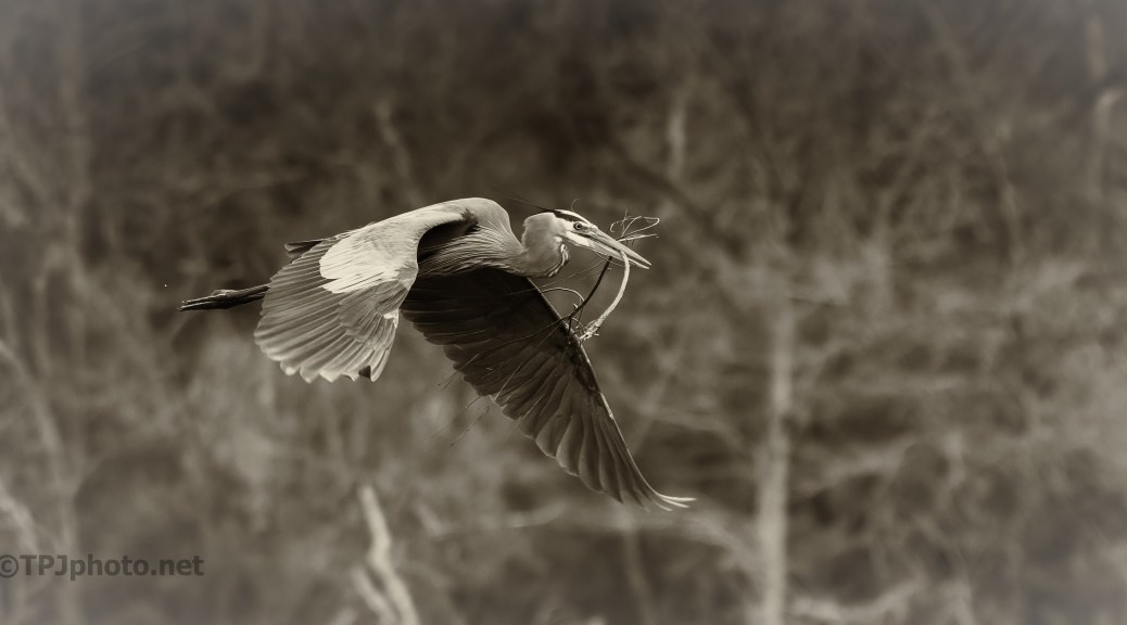 Great Blue Heron, Monochrome