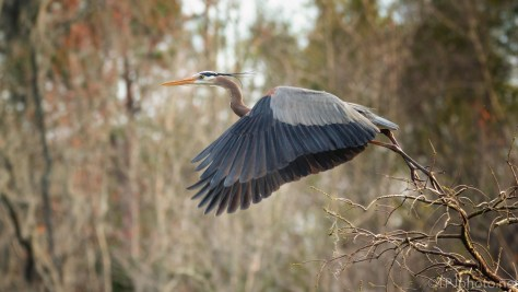 Great Blue Take Off