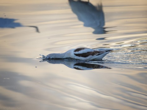 Avocet Hunting At Dawn