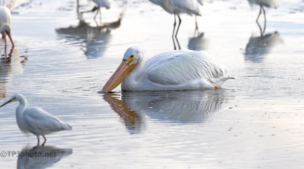 White Pelican Slide By Feeding