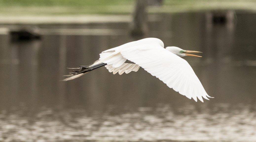Slow Fly By, Great Egret