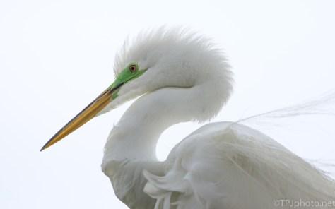 Portrait Head Shot, Great Egret