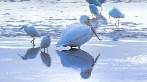 A Morning Pelican