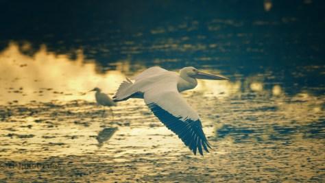 Golden Hour Pelican