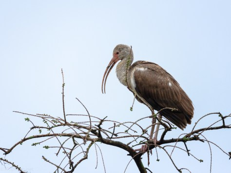 Young Ibis Up Top