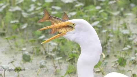 Having A Good Day, Egret