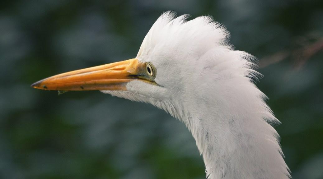 Portrait, Great Egret