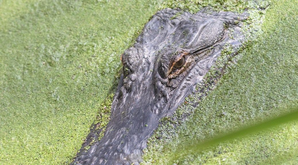 Nobody Would Notice, Alligator