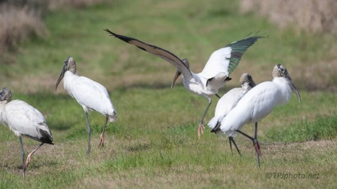 Road Block, Wood Storks