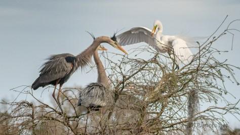A First Skirmish, Heron - Egret