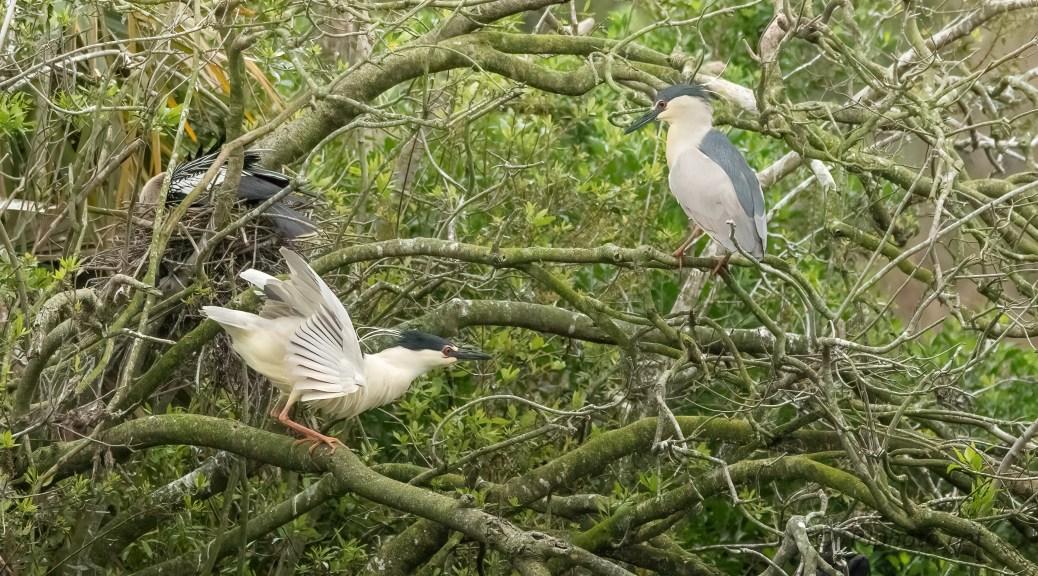 Mating Dance, Night Heron