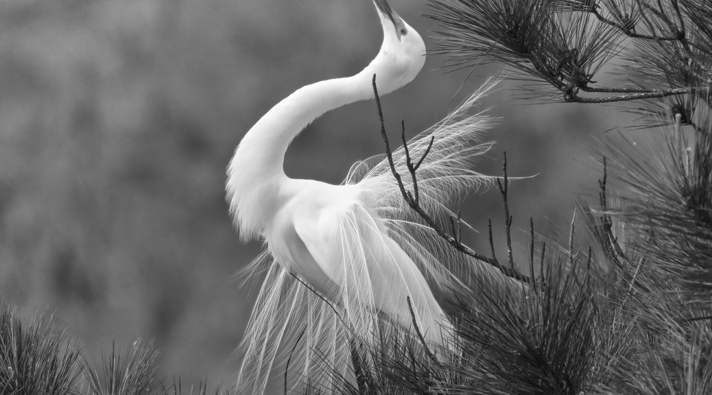 Great Egret Dancing