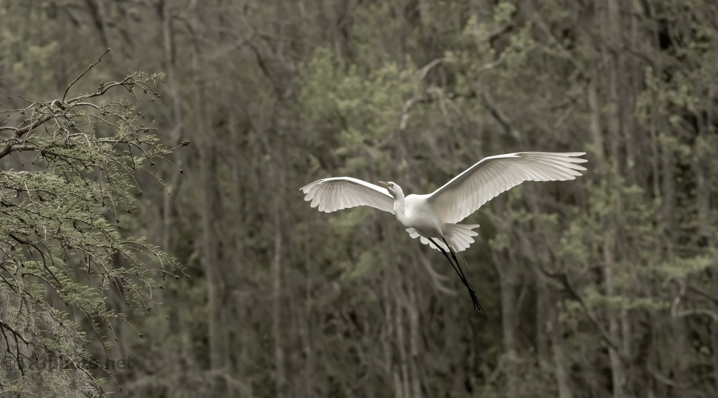 Great Egret In A Swamp Rookery