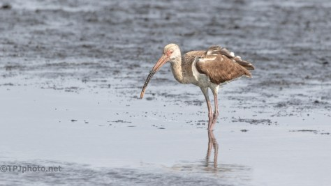 White Ibis, Well Almost