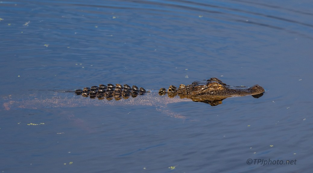Crawling In The Water, Alligator