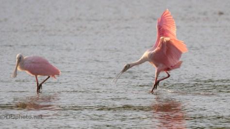 Sunny Pink, Spoonbill