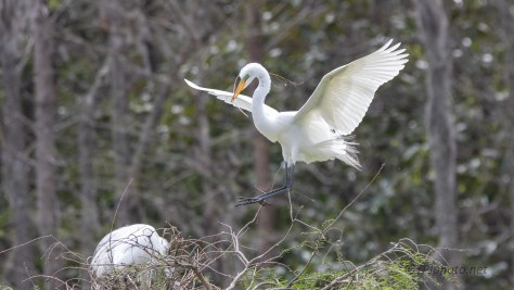 Egret At A Rookery