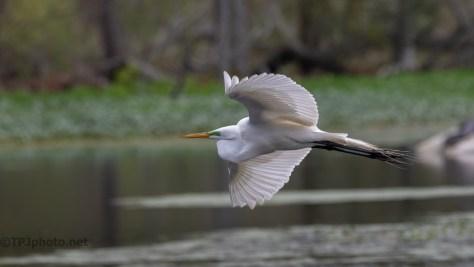 Great Egret, In Flight