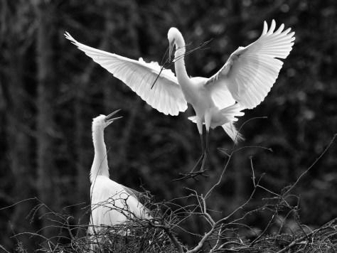 Egrets, Black And White