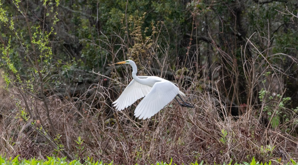 In The Swamp, Egret