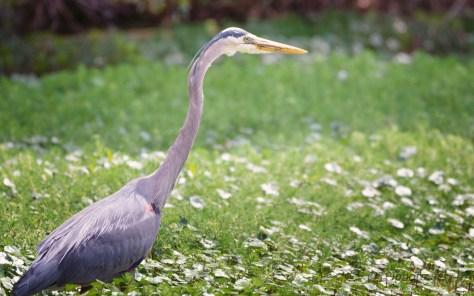 Met Along The Back Of A Swamp, Heron