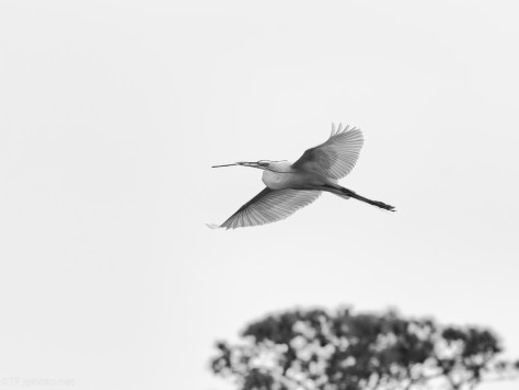 Black And White, Egret