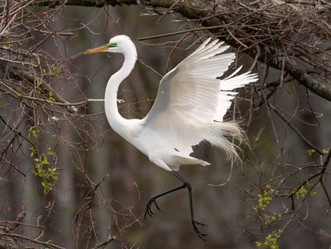 Egret In The Branches